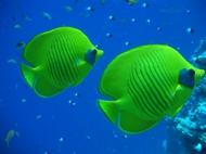紅海の固有種『ゴールデンバタフライフィッシュ』
